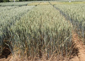 Untreated trials at Throws Farm