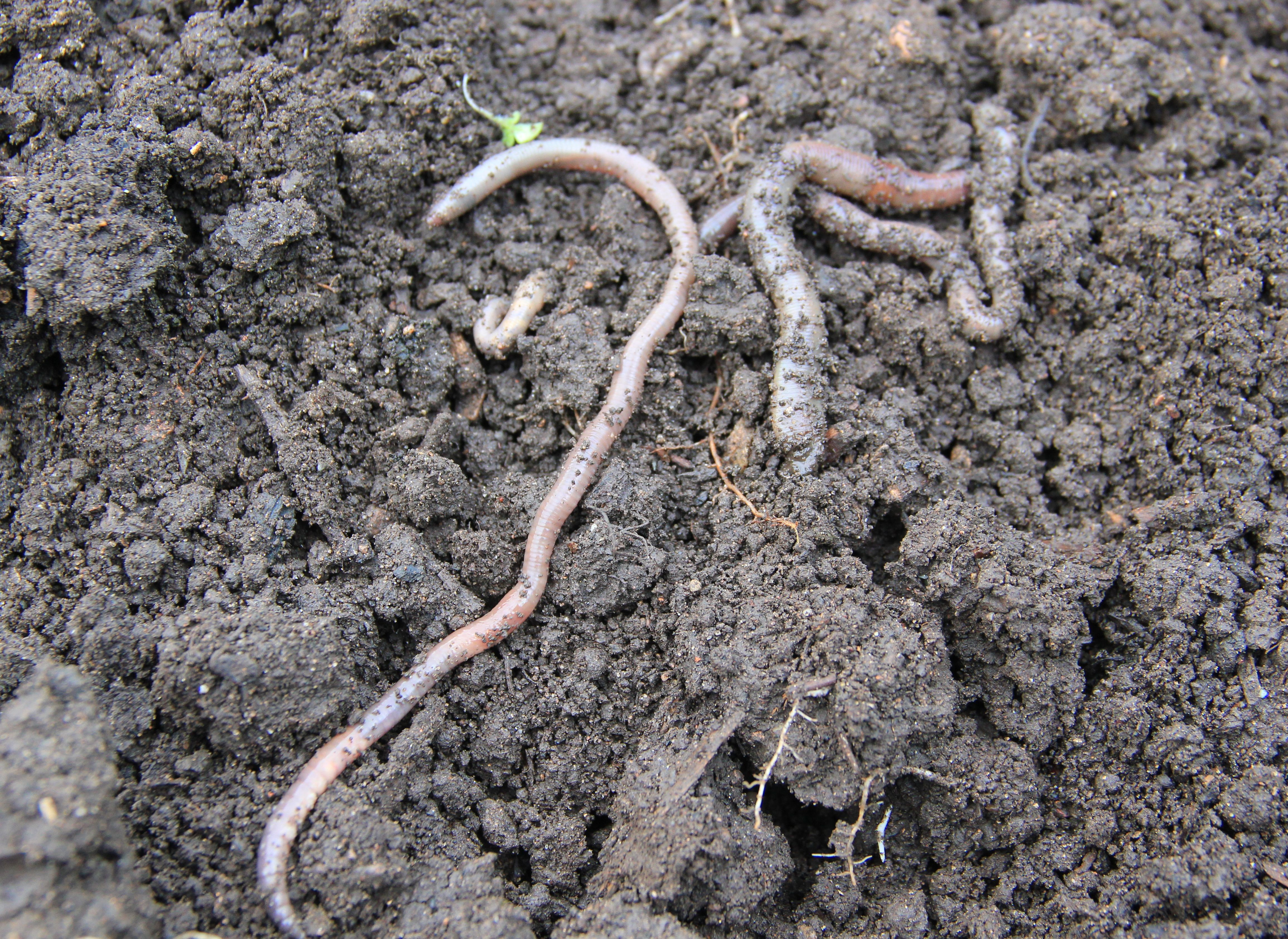 Earthworms in the soil