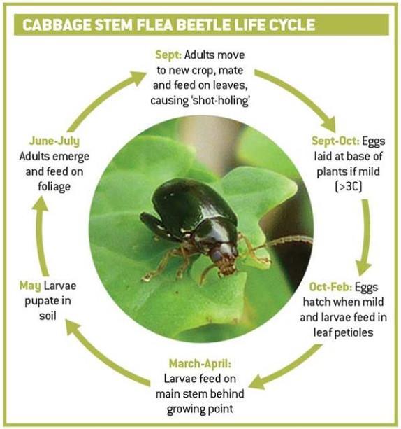 Cabbage Stem Flea Beetle Life Cycle
