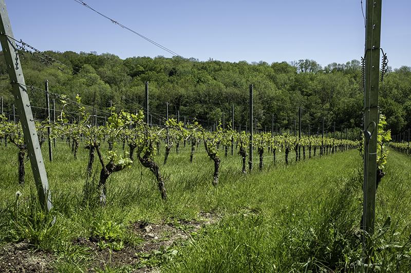 wiston estates vines